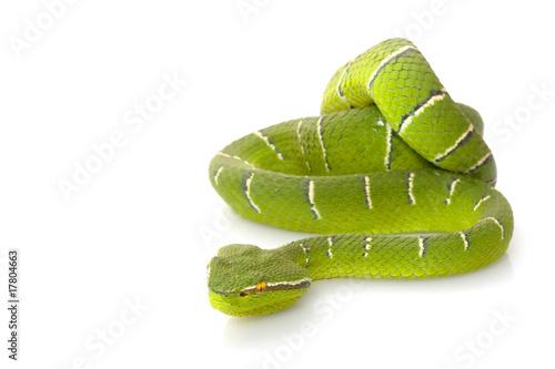 Staande foto Kameleon Temple viper