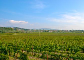Fototapeta na wymiar Weinreben in Italien
