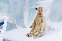 Young Polar Bear Sitting. Sunny Day