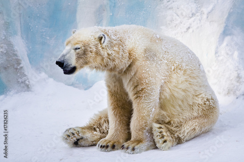 Papiers peints Ours Blanc Tired polar bear yawning