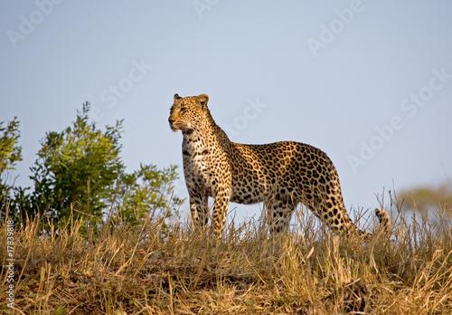 Staande foto Leeuw Leopard standing in the skyline