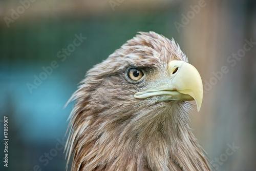 Photo  Portrait of eagle