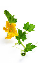 Pumpkin Flowers Isolated On White