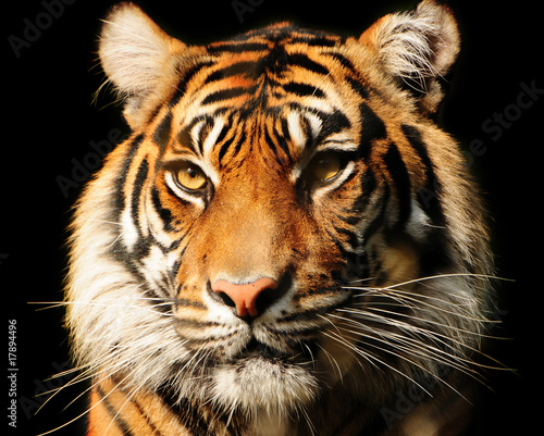 Papiers peints Tigre Tiger Portrait