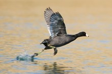 Coot Take Off