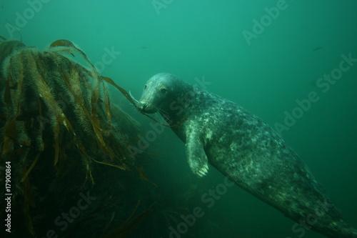 Fototapeta premium Spielende Robbe im Kelp