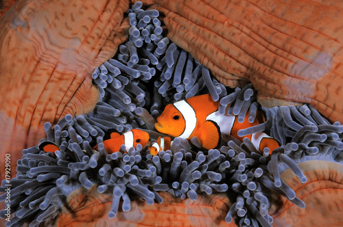 Canvas Print Clown anemonefish family