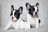 Fototapeta Dogs - two french bulldog puppies