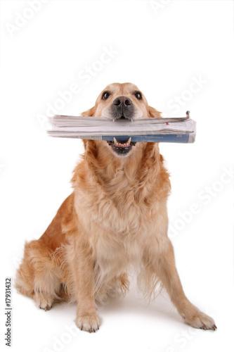 Fotografía  chien golden retriever assis avec un journal dans la geule