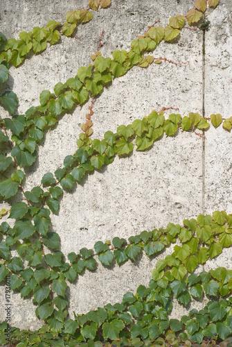 wspinaczka-vines-of-ivy