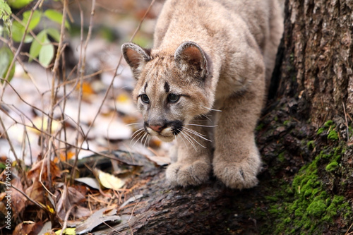 Tuinposter Puma Cougar Cub