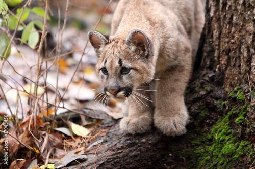 Staande foto Puma Cougar Cub