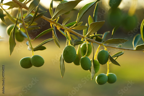 Foto op Plexiglas Olijfboom Detail of olive tree branch