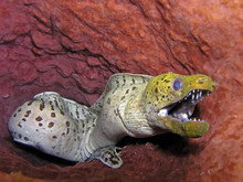 Moray Eel Found In Tropical And Temperate Seas