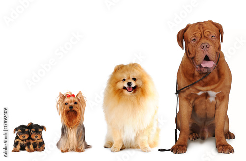 Group of dogs different sizes isolated Wallpaper Mural
