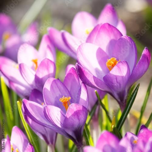 Foto op Plexiglas Krokussen rich spring flowers