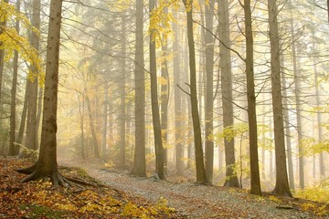 FototapetaLate autumn path leading through the forest in dense fog