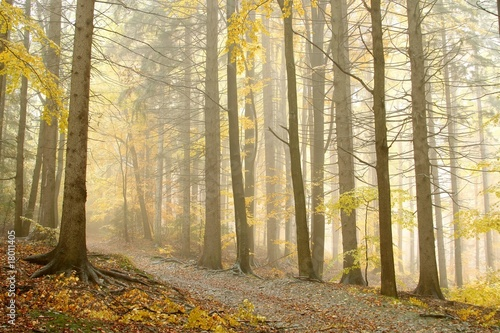 Late autumn path leading through the forest in dense fog - 18011405