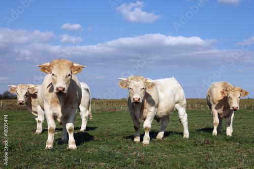 Poster de jardin Vache les curieuses