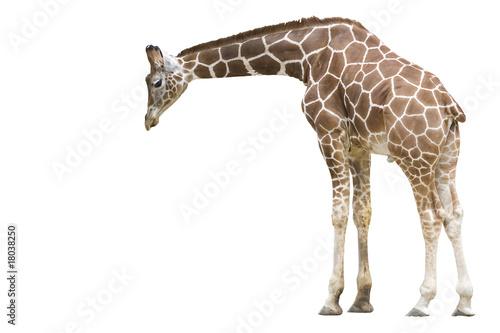 Photo  Giraffe wd259