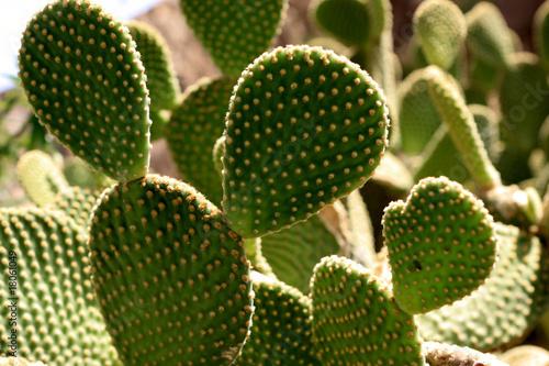 Papiers peints Cactus Opuntia ficus-indica
