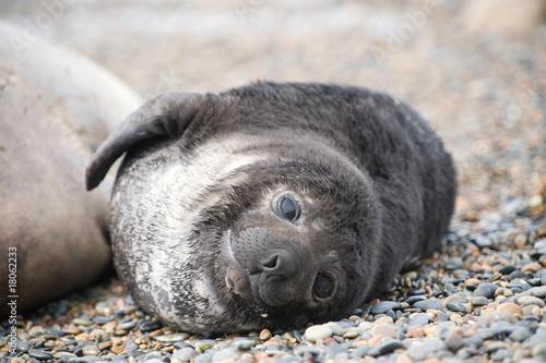 Fototapeta premium Cute baby elephant seal, Valdes Peninsula
