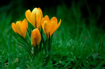 Panel Szklany Natura yellow flower