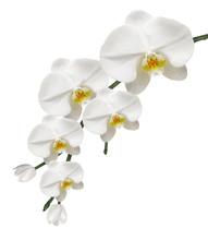 Orchidée Blanche Et Pureté