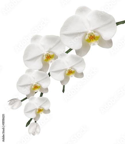 Papiers peints Orchidée Orchidée Blanche et Pureté