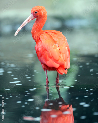Photo  scarlet ibis standing in water showing reflection