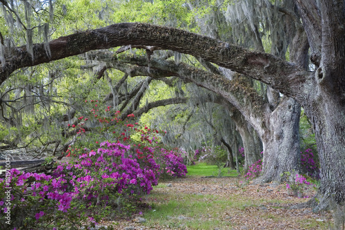 Fotografie, Obraz  Live Oaks and colorful azaleas in Charleston South Carolina.