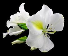 Fleurs Blanches Bauhinia Fond Noir