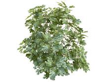 Fig_(Ficus_carica)