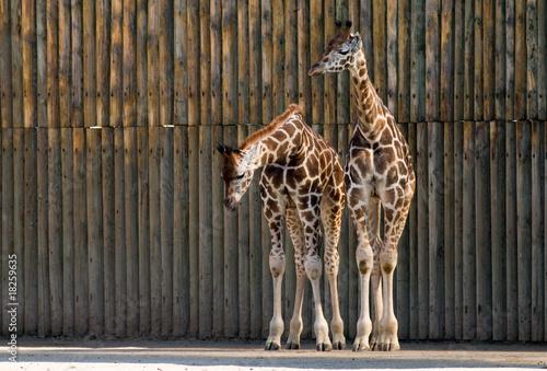 Fototapety, obrazy: Giraffes