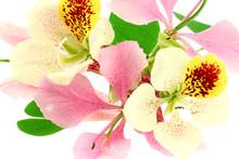 Bauhinias Panachés Fleurs Arbre-orchidée
