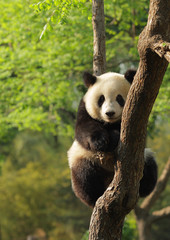 Fototapeta Cute young panda sitting on a tree en face