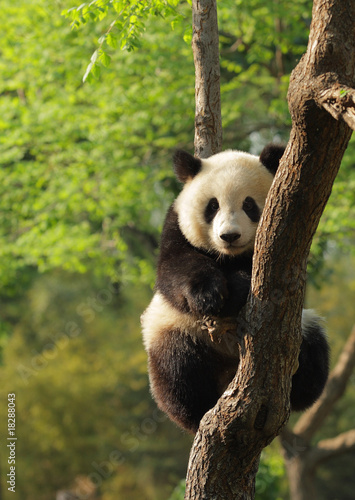 Foto op Canvas Panda Cute young panda sitting on a tree en face