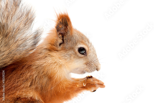Foto op Canvas Eekhoorn squirrel in profile