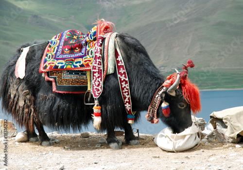 Fototapeta yack tibet