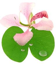 Bauhinia Fleur Feuille Fond Blanc