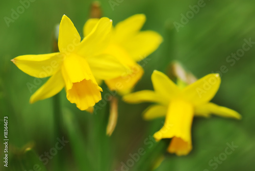 Garden Poster Narcissus Easter daffodils background with shallow depth of field