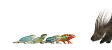Young Chameleons And Pocupine In Front Of White Background