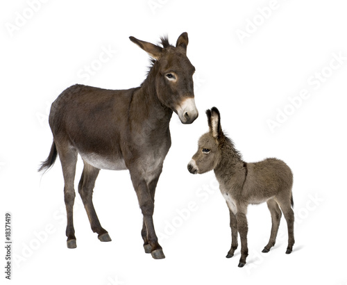 Donkey and his foal standing in front of white background