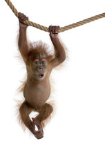 Baby Sumatran Orangutan Hangin...