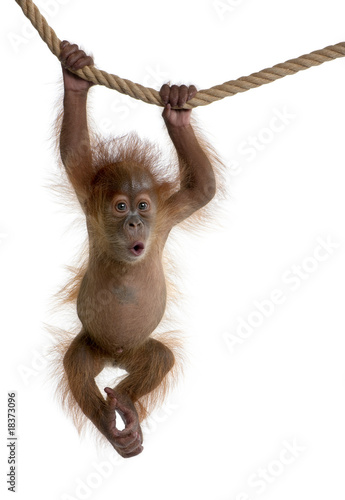 Baby Sumatran Orangutan hanging on rope against white background