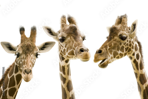 Tuinposter Giraffe Giraffe wd272