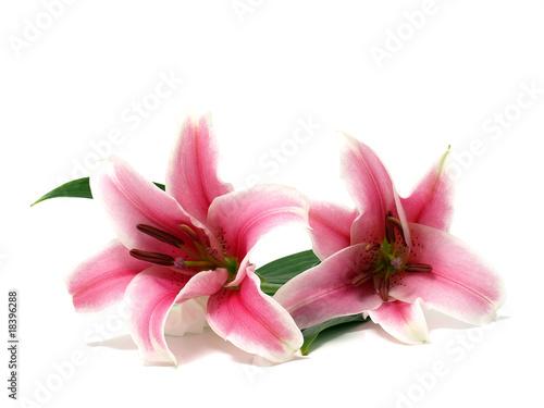 Fotografia Pink Lily