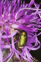 Leaf Beetle (chrysomelidae) Feeding On Thistle