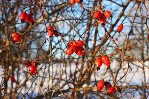 jagody-psiej-rozy