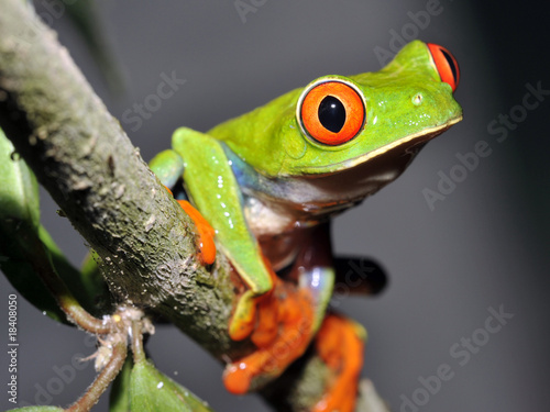 Tuinposter Kikker curious red eyed or gaudy green tree frog in tree, guatemala
